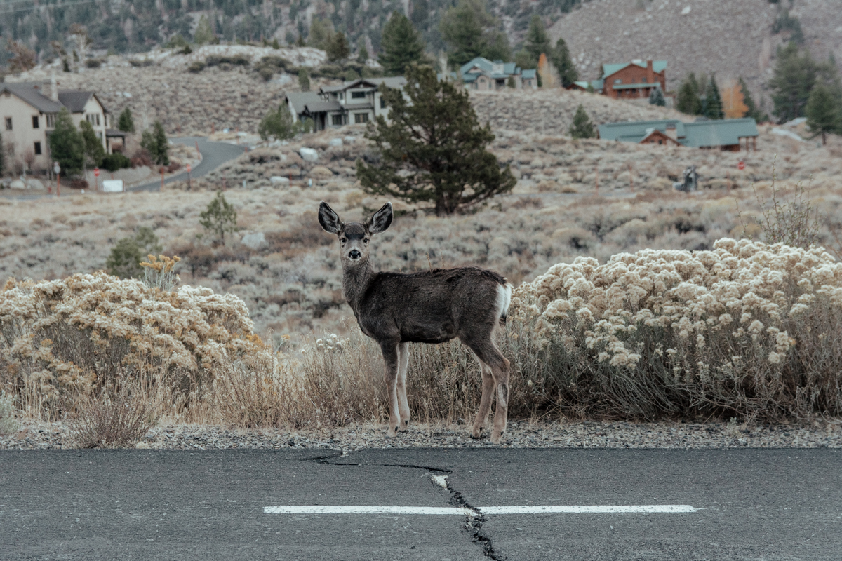 Baby Deer in June Lake