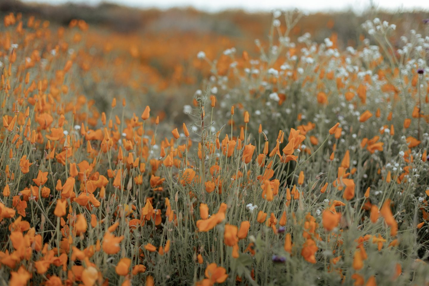 Walker Canyon Poppy Fields 2019